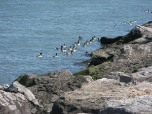 LBI ducks along Barnegat Inlet
